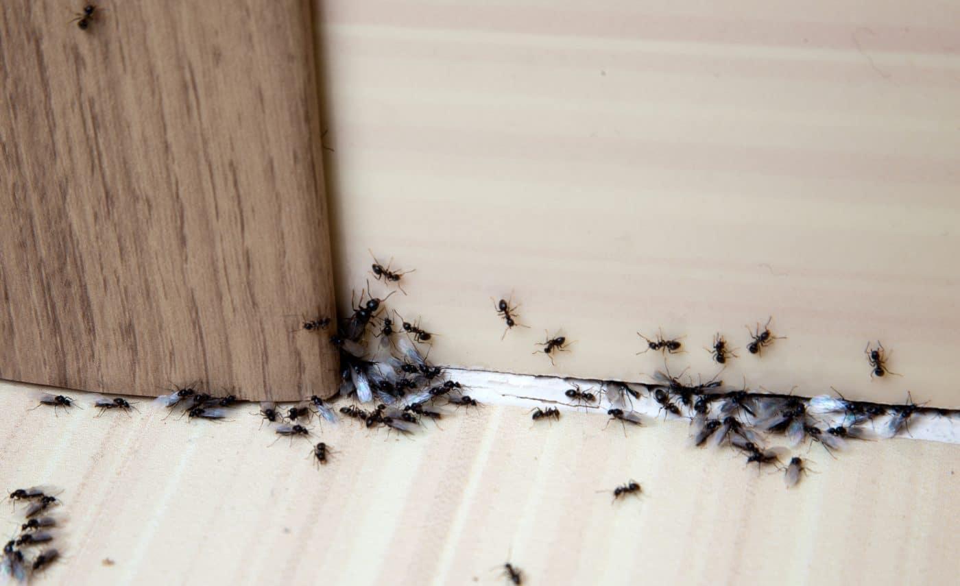 remedios-naturales-contra-las-hormigas